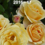 2016 – 17 New Zealand Rose Review