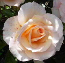 hamilton-gardens-w225-h250