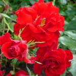 gordons-rose-w400-h300