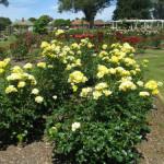Kennedy Park Rose Garden – Napier
