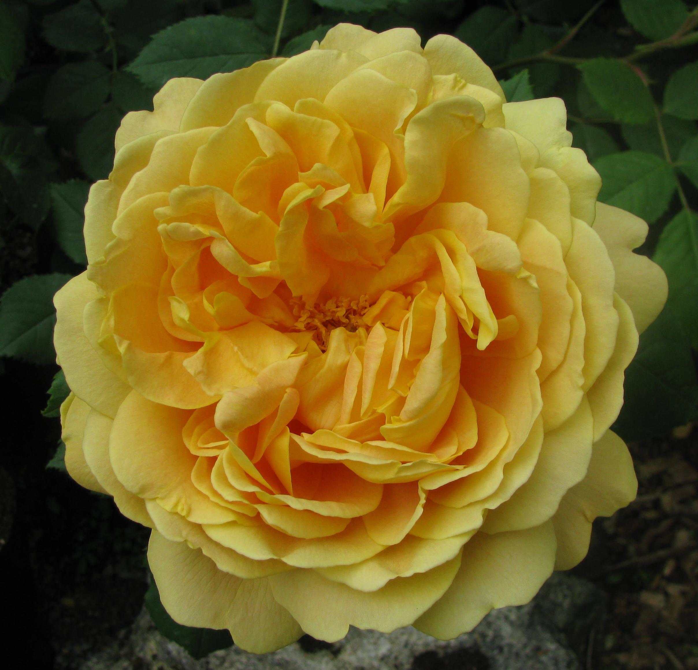 april golden celebration the new zealand rose society. Black Bedroom Furniture Sets. Home Design Ideas