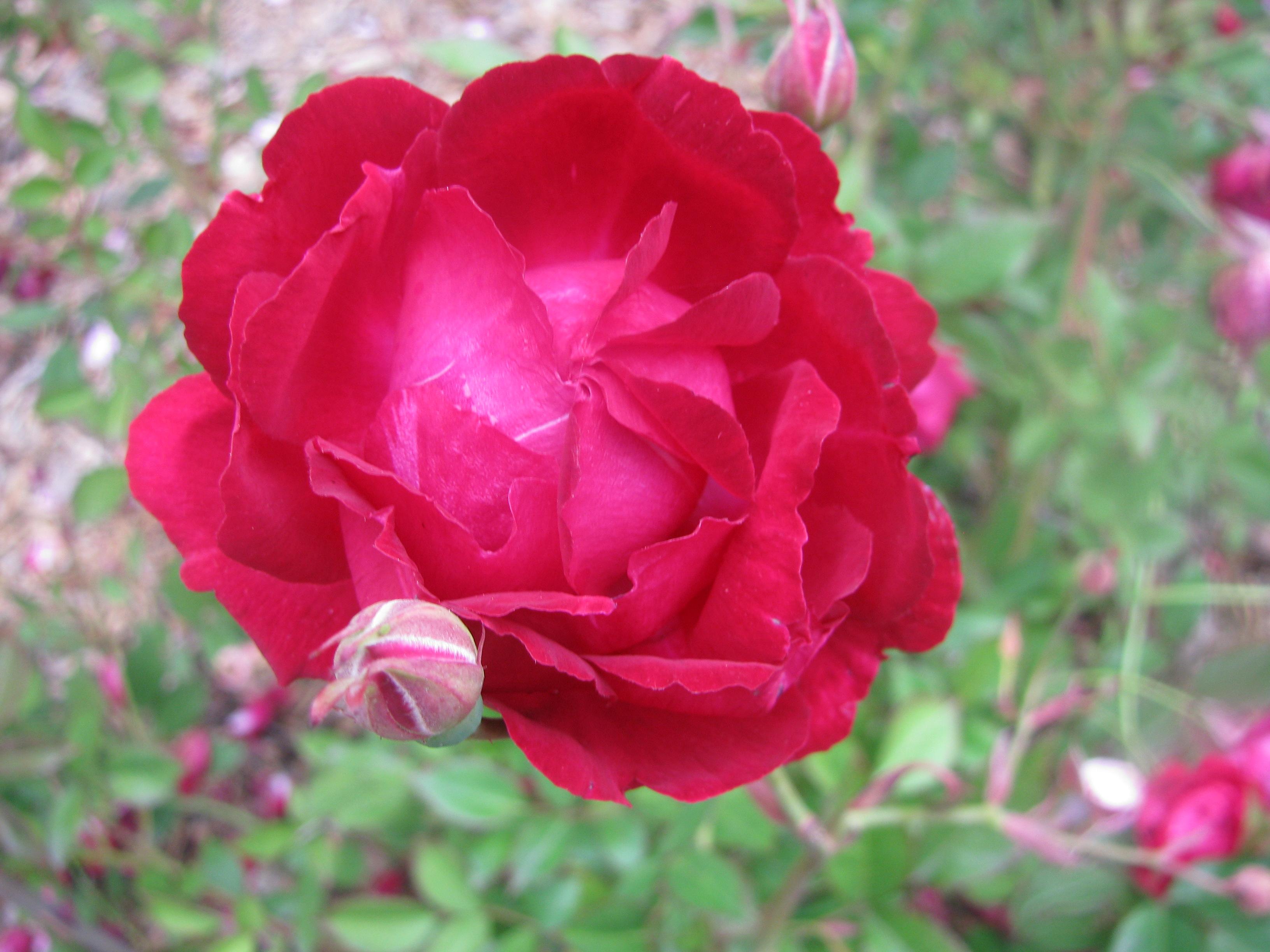 April slater 39 s crimson china the new zealand rose society - Rosas chinas ...