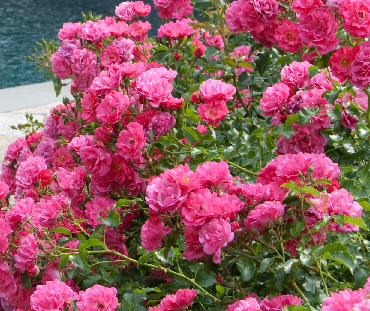 September Flower Carpet Pink The New Zealand Rose Society