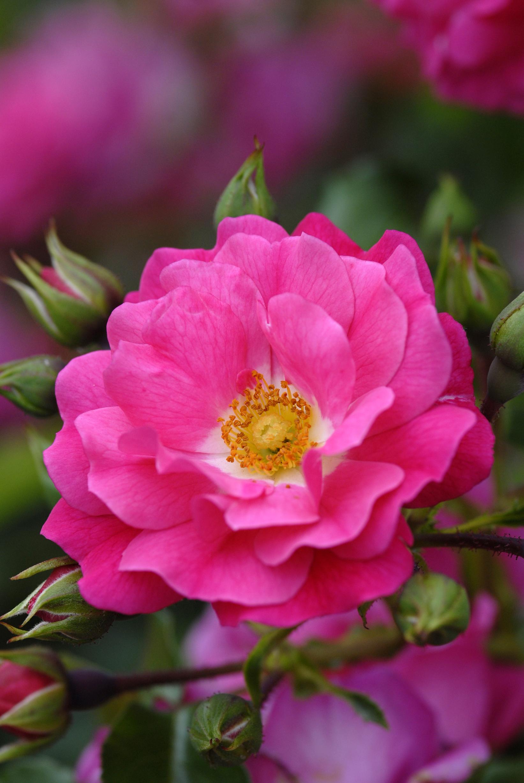 September Flower Carpet Pink The New Zealand Rose Society
