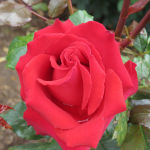 New Zealand Rose of the Year 2014