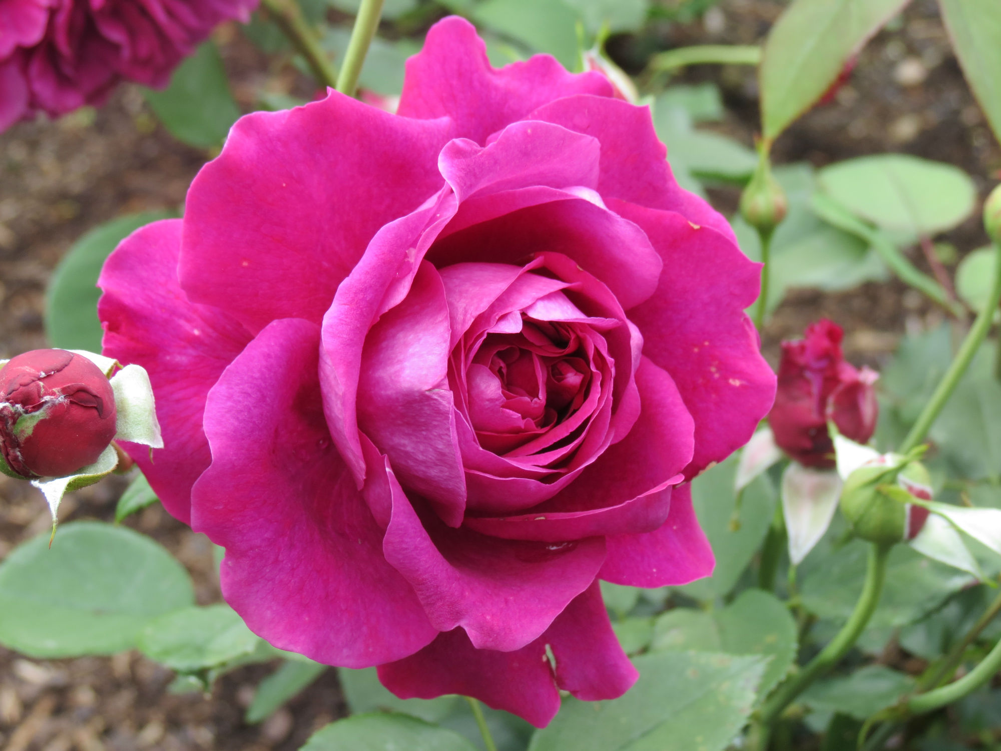 Rose: New Zealand Rose Of The Year 2014