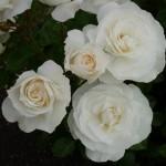 April – White Romance