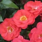 Free flowering, healthy roses feature among winning roses