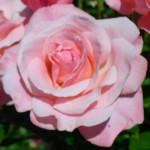 Dickson rose-w500-h375