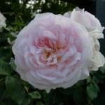 Emilys Rose 4-w500-h375