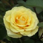 Golden Gift (1)-w500-h375