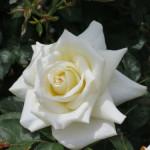 IMG_0519 Cameo Cream (1)-w500-h375