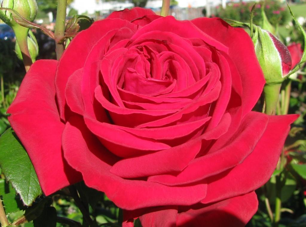 January Loving Memory The New Zealand Rose Society