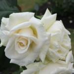 White Knights IMG_4633 (2)-w500-h375