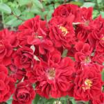 142 Scarlet Meillandina-w500-h375
