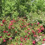 Timaru Botanic Gardens  -Species Rose Collection