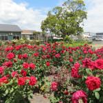 Morrinsville Rose Gardens