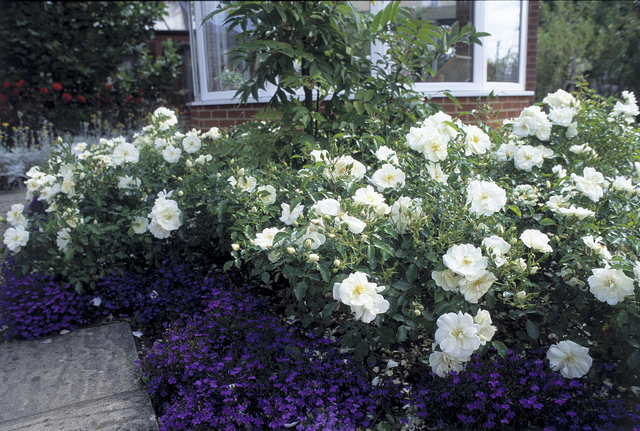 April flower carpet white the new zealand rose society 931128486083d09ba569z mightylinksfo Image collections