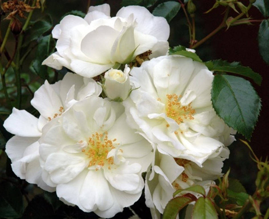 April flower carpet white the new zealand rose society mightylinksfo Image collections