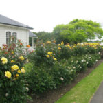 landscaping-with-roses-2-w500-h375