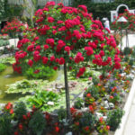 landscaping-with-roses-6-w500-h375