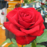2016 National Spring Rose Show Results