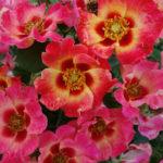 November – Sweet Spot Calypso